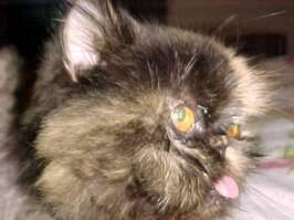 Old Persian Tortie, Babette found wandering the streets completely matted & starving