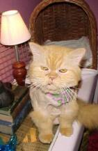PUFF, 12 yr old Persian--human chose a new boyfriend over this adorable old mancat!